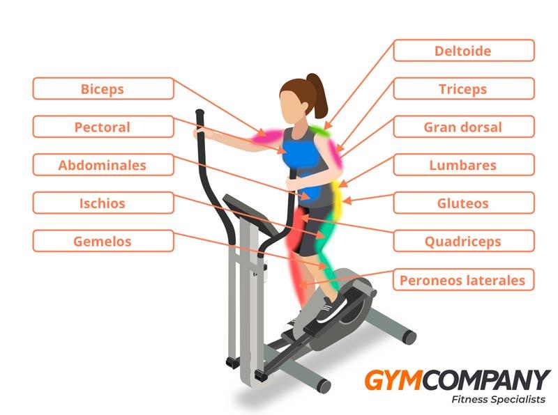 beneficios-bicicleta-eliptica-musculos-dibujo